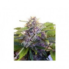 Purple Ryder Autoflowering Feminised